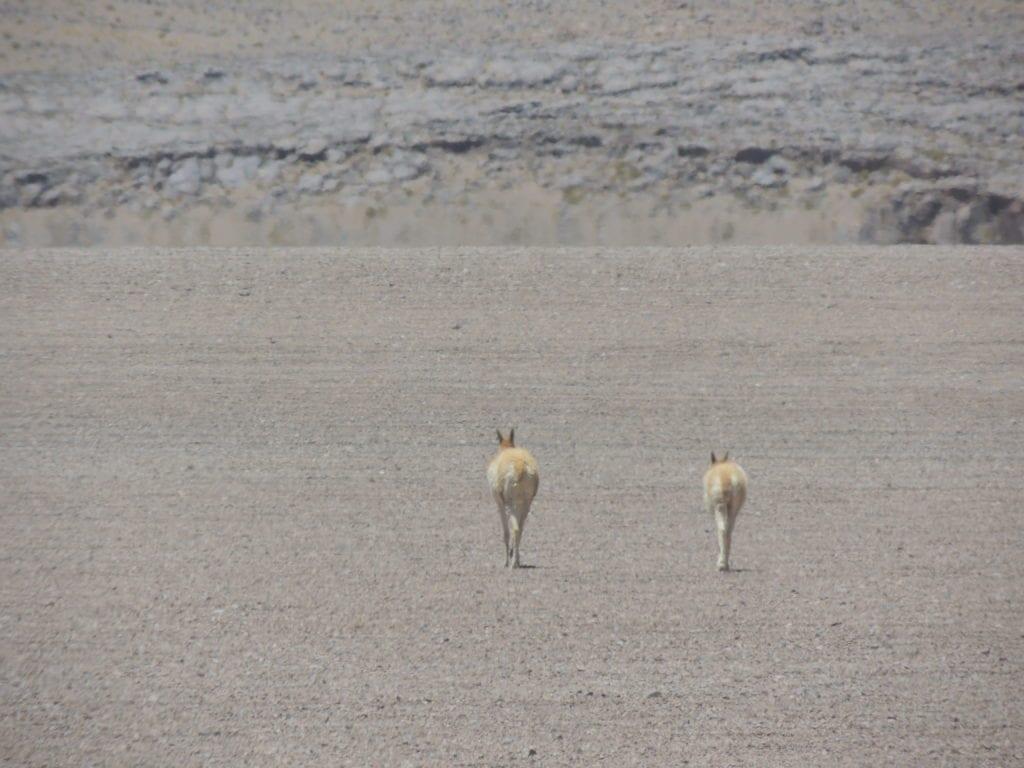 Guanacos e vicunhas são animais típicos do deserto do Atacama