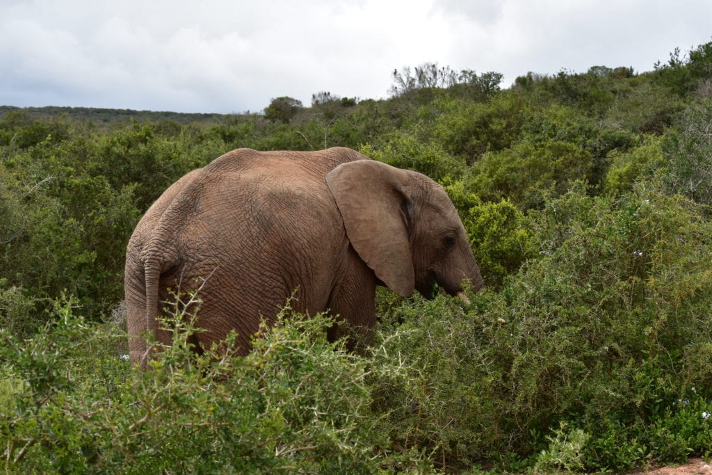 Elefante ADDO